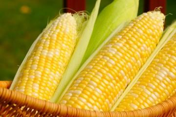 浙大转基因玉米研制团队负责人推行是最好的科普