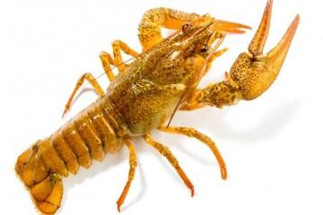 变废为宝科学家利用小龙虾壳储存能量